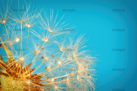 A dandelion against a blue background