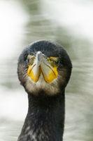 A great cormorant portrait