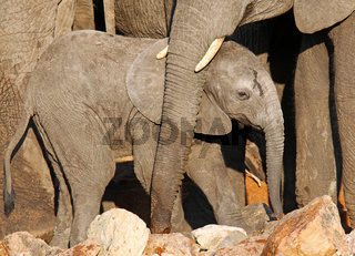 Elefant im Kruger Nationalpark Südafrika; african elephant, south africa, wildlife