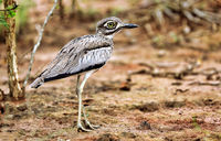 Water thick-knee at Lake Mburo National Park in Uganda (Burhinus vermiculatus)