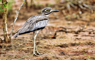 Wassertriel im Lake Mburo Nationalpark in Uganda (Burhinus vermiculatus) |  Water thick-knee at Lake Mburo National Park in Uganda (Burhinus vermiculatus)