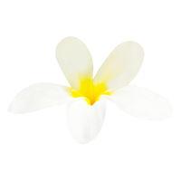 White flower plumeria