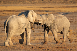 African elephants fighting