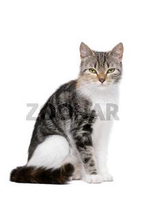 european-shorthair cat