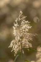 Sepia colored single reed blossom in sunset in back light against a blurred background