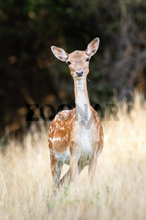 Fallow deer doe with innocent look facing camera on a meadow in summer