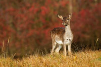 Young fallow deer fawn looking on autumn meadow with red leaves in background.