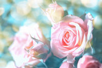 Beautiful pink and beige roses blossom background. Faded colors. Shallow depth soft focus. Toned pastel image. Greeting card template