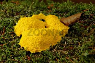 Gelbe Lohbluete (Fuligo septica)