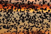 Snow geese in the dawn, Bosque del Apache, New Mexico USA
