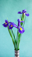 fresh iris flowers on green vertical background