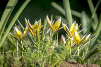 Several small star tulips growing between green grass taken from a low angle shot