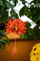 Fringe Hibiscus Flower or Hibiscus schizopetalus flower