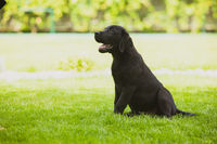 Black Labrador puppy waiting for the owner