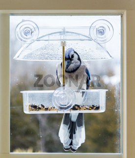 Blue Jay in window bird feeder