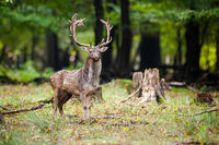 Alert fallow deer standing on a glade with tree stump in summer forest