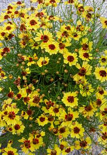 Blick von oben auf eine blühende Mädchenaugepflanze