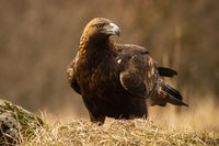 Majestic golden eagle with big beak sitting on the dry grassland
