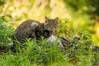 Curious european wild cat hiding in green vegetation in forest