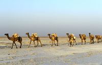 Men of the Afar nomads lead a dromedary caravan over the Assale Salt Lake, Danakil Valley,E*thiopia