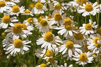 Blüten der Echten Kamille