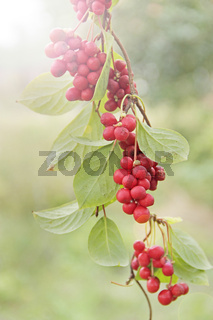 schizandra with green leaves hang in sunny rays in garden