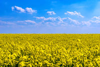 A yellow blooming rape field in the sunlight with place for text