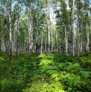 nice summer birch forest landscape