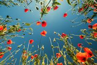 Bottom view of red poppies and blue sky