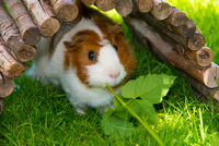 Guinea Pig sitting under on grass