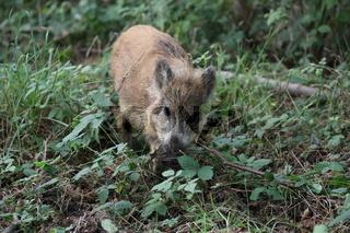 Wild Boar (Sus scrofa)  Western Pomerania Lagoon Area National Park
