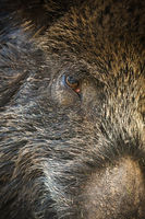 Detail of wild boar hairy head in full frame shot.