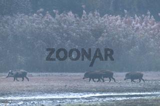 Wildschweinfrischlinge vor einem Schilfgürtel