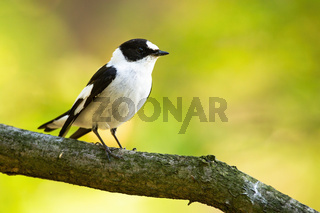 Bright profile photo of european pied flycatcher perched still on the tree