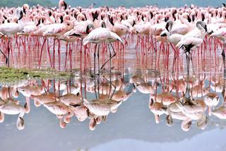 Flamingos spiegeln sich im Wasser, Rift Valley