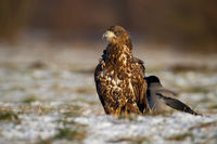 Juvenille white-tailed eagle sitting on white grass in winter