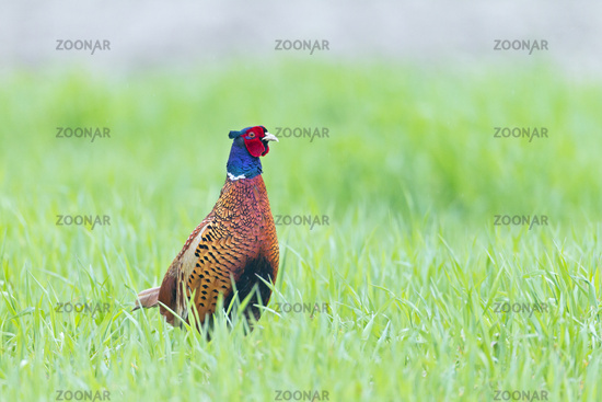 Common Pheasant cock in the mating season, the red wattles on the head are clearly visible