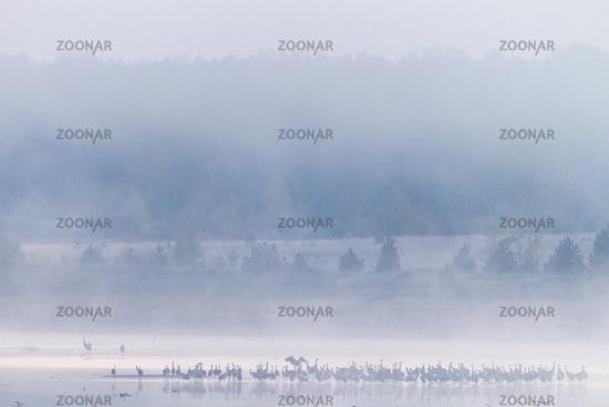 Common Crane flock of birds in morning fog