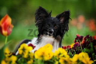 Papillon dog sitting between spring flowers