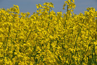 Close up yellow rapeseed flowers in field