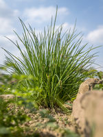 Bushy chives in a herb bed with sandstones and a blue cloudy sky from a low angle perspective