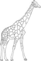 Sketch of a high African giraffe on a white background
