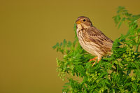 Corn bunting at Lake Neusiedl