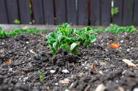 Closeup of pea sprouts growing in the garden