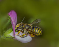 European wool carder bee  'Anthidium manicatum'