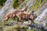 group of ibexes