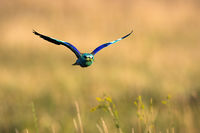 Colorful european roller flying over the field in summer.