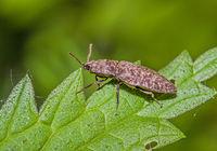 Click beetle 'Agrypnus murinus'