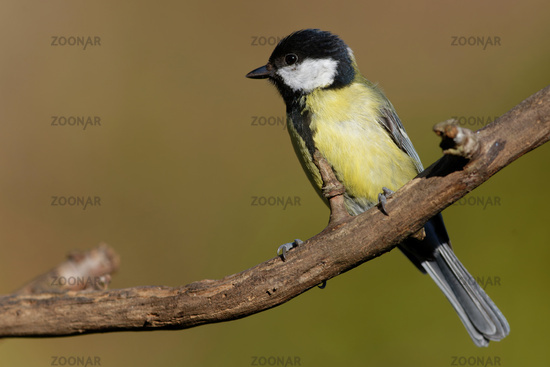 Young great tit in the garden