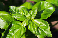 Beautiful basil herb leaves ready to be picked